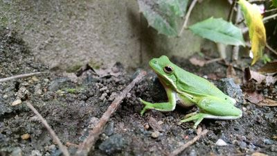 Green Tree Frog in natural habitat