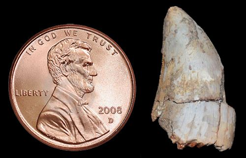dinosaur tooth placed next to a penny for size