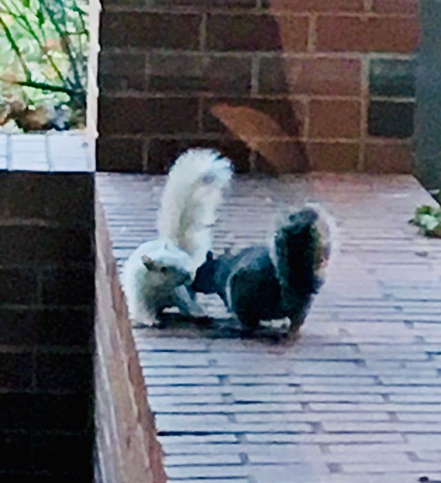 A photo of a black squirrel and a white squirrel by Nena J.